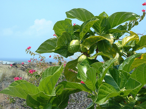 Fruit noni